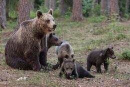Family outing European Brown Bears