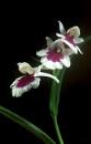 Ponerorchis Graminifolia by TonyDy