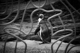 Penguin framed.
