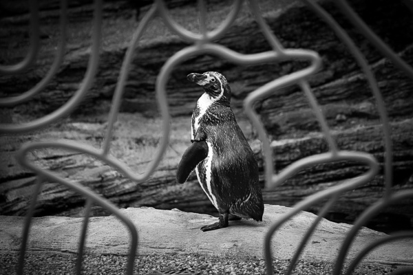 Penguin framed. by JackAllTog