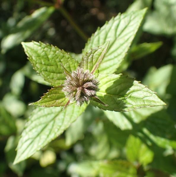 Mint Flower by nclark