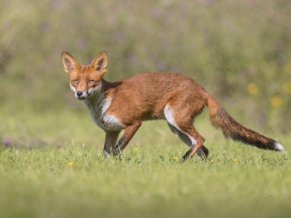 Fox by Jamie_MacArthur