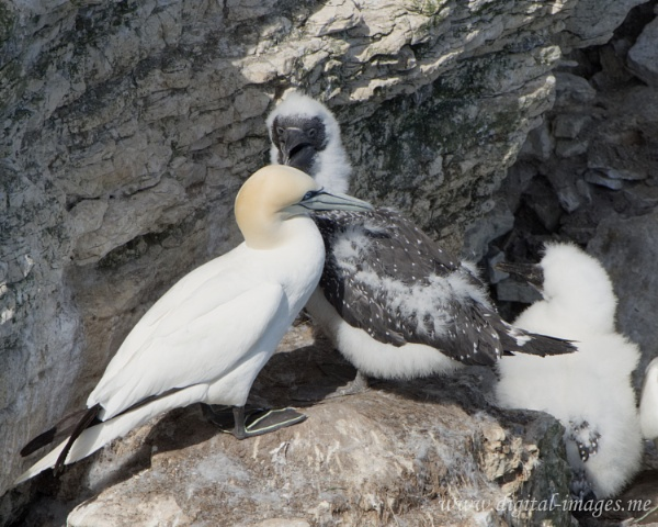 Gannet and Chick 2 by Alan_Baseley