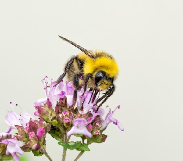 Garden Bumblebee (Bombus hortorum) by jasonrwl