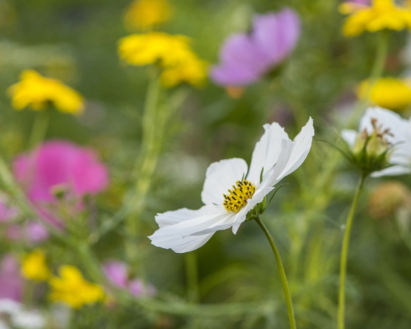 Cosmos by iancrowson