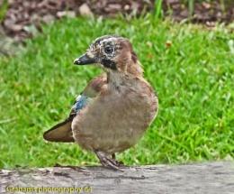 Juvenile Jay