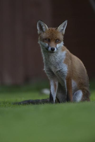 Thoughtful Fox by johnjo58