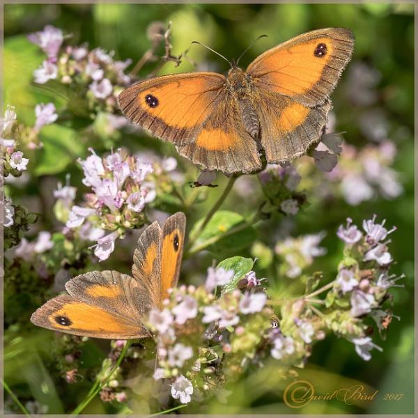 A pair of Gatekeeper butterflies by DavidBird