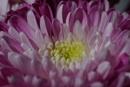 Pink Beauty by mashwood10