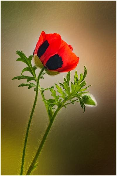 Poppy by capto