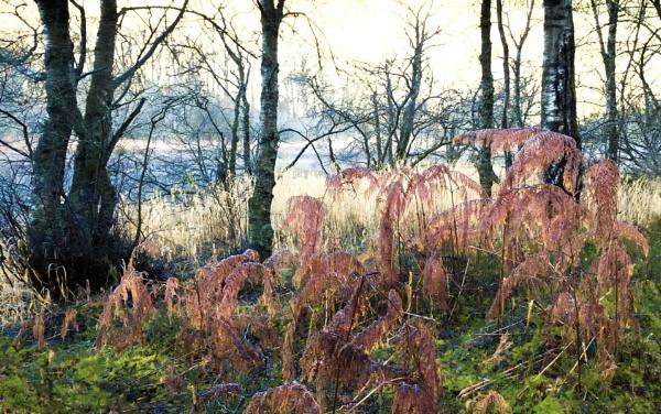 Autumn Ferns by Coracre