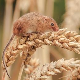 A Harvest Mouse