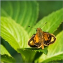 A Golden Skipper by taggart