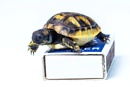 Cute little 5 day old Baby Turtle by aldasack1957