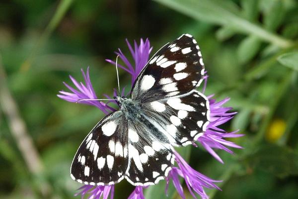 Marbled White-Melanargia galathea by bobpaige1