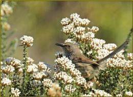 Tinktinkie (Prinia maculata)