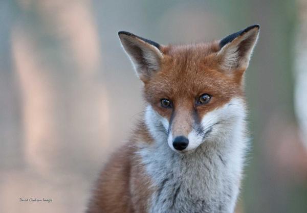 Fox by DavidCookson