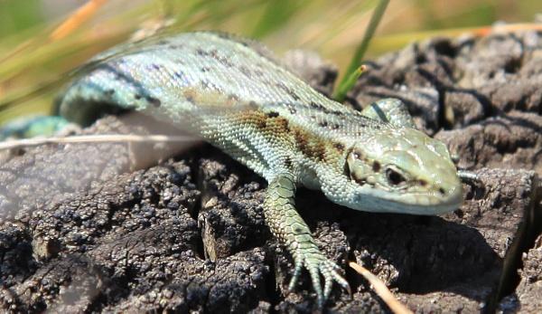 Common Lizard by tedbear