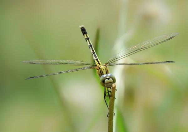 Dragon fly by prabhuv