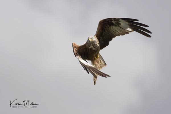 Red Kite by kfjmiller
