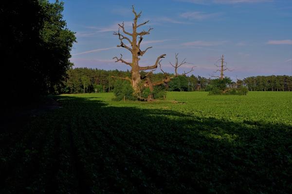 Ancient Oaks by PentaxBro