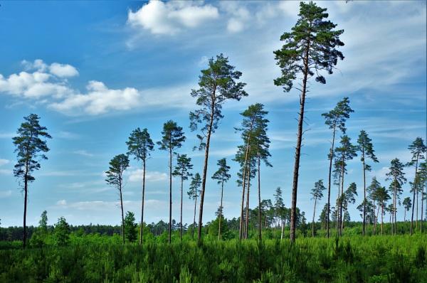 Pine Trees by PentaxBro