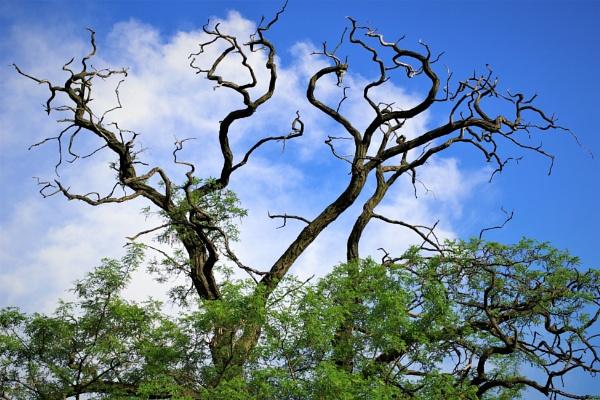 Old Acacia Tree by PentaxBro