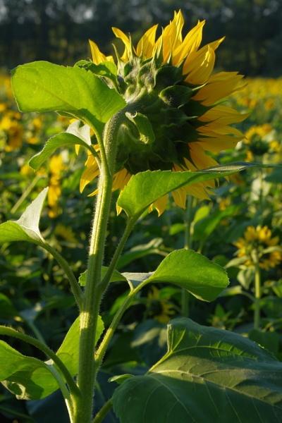 Shy Cornflower  by PentaxBro