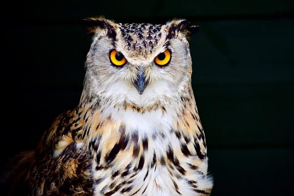Owl by Glenn1487