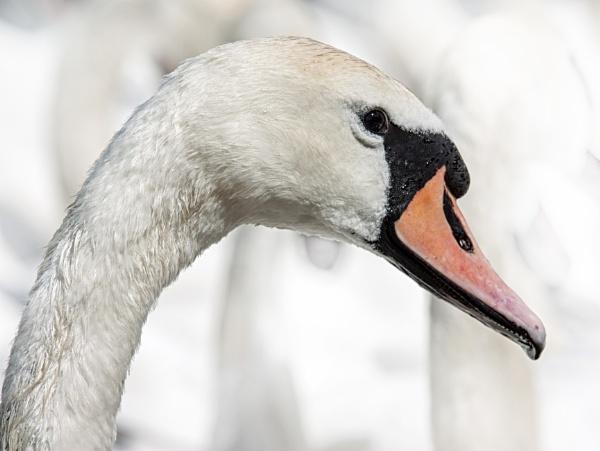 Swan by Vambomarbleye