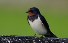 Brave Swallow