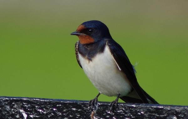 Brave Swallow by Kako