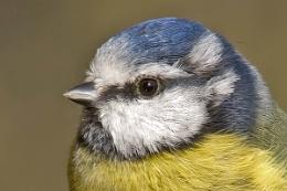 A close-up of a Blue Tit