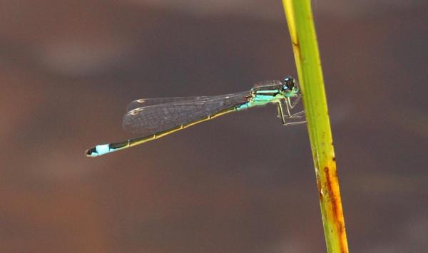 Blue-tailed damselfly by oldgreyheron