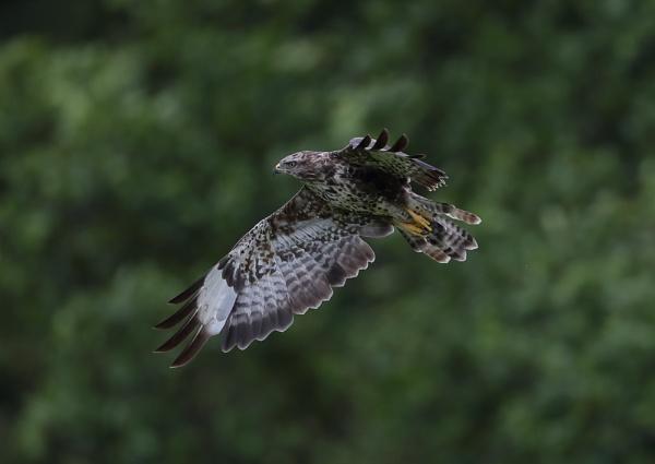 Buzzards in Flight by NeilSchofield