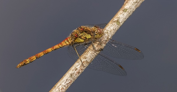 Common Darter by Mike_Smith