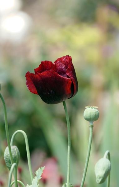 Poppy by Silverzone