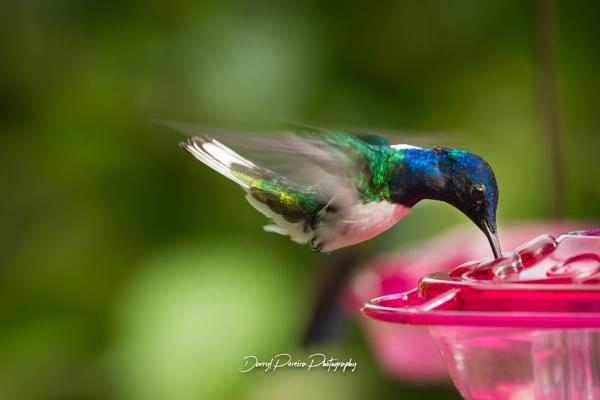 Humming Bird by darrylhp