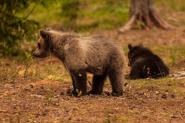 European Brown Bear Cubs by rontear