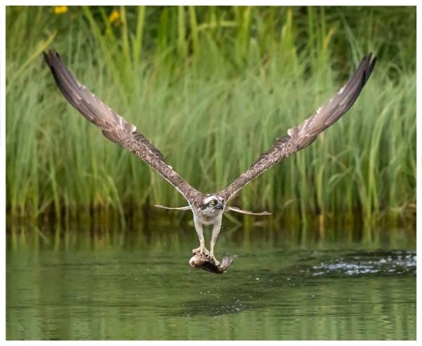 osprey by ROB1972