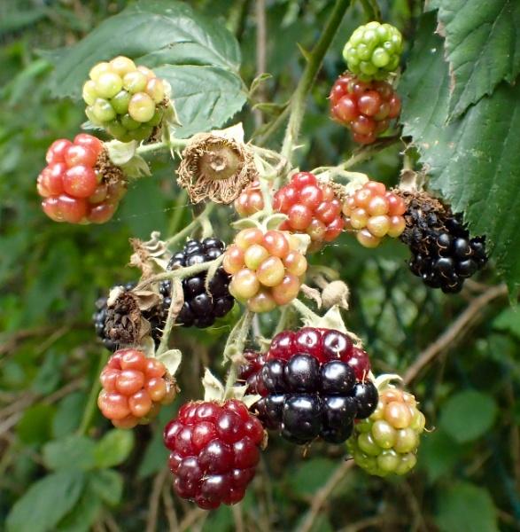 Wild Blackberries by nclark