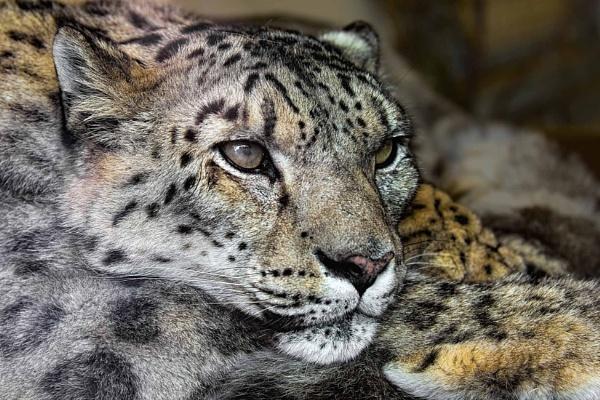 Snow Leopard (Uncia uncia) by Ray_Seagrove