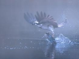 Osprey in Scotch mist