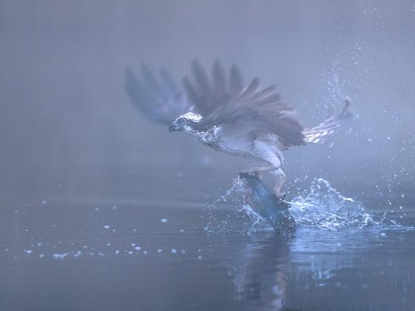 Osprey in Scotch mist by Jamie_MacArthur