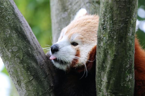 Cheeky panda by iNKFIEND