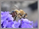 Bee on Flower by PhilT2