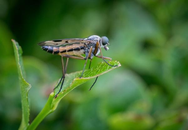Snipe Fly by jasonrwl