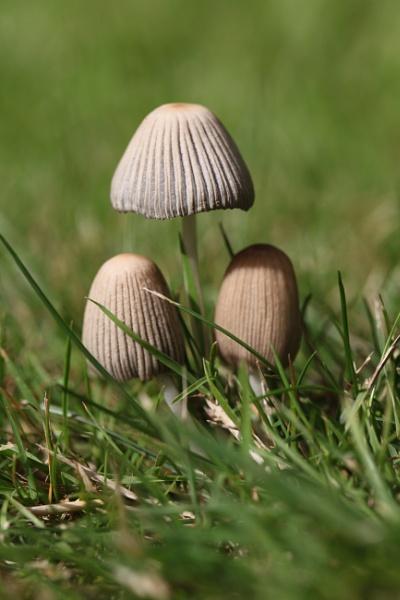 Fungi Trio by Chaplens