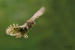 Little Owl Landing.......