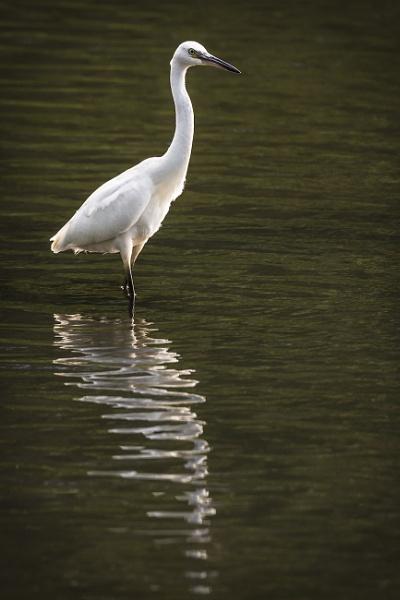 Wading Little Egret by BydoR9